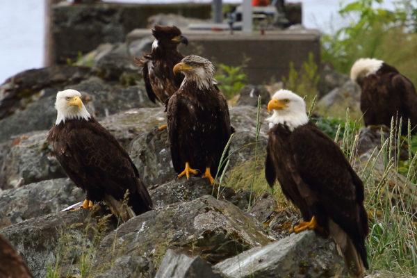 Bald Eagles in Alaska