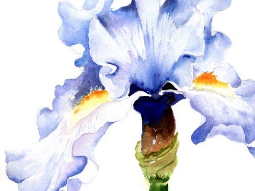 M BLUE IRIS